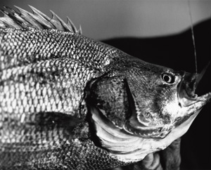 Atlantic Tripletail