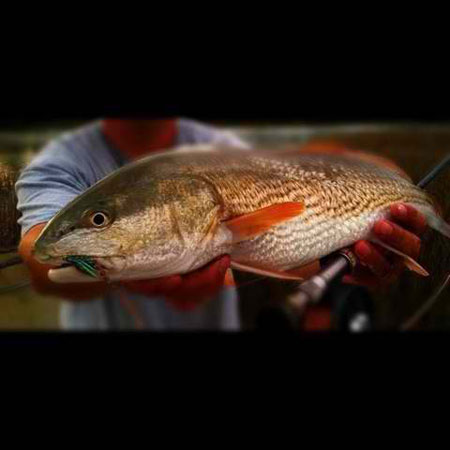 Carolina Red Fish or Red Drum