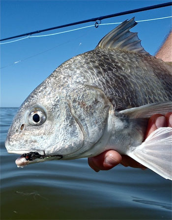 Black Drum