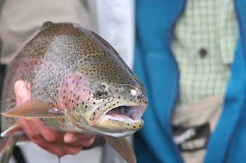 Kamchatka Rainbow Trout