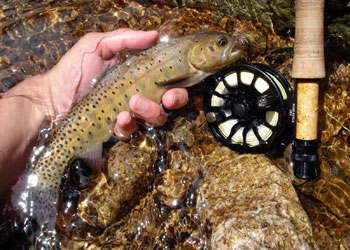 Backcountry Cutthroat Trout